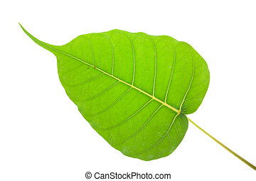 Bodhi green leaf isolated