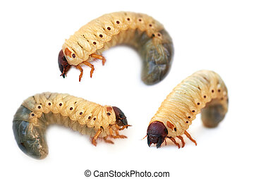 larva the rhinoceros of the bug - Larva the rhinoceros of...