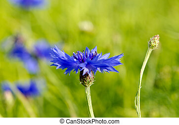 Closeup of blur cornflower bluet bluebottle flower in rape...