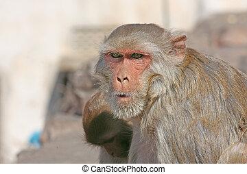 India, Rajasthan, Jaipur, indian monkeys