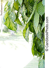 Gold Leaves Graptophyllum pictum L