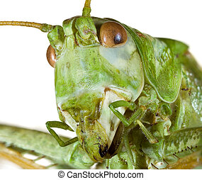 Cricket Head