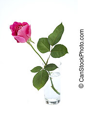 pink rose bud in vase isolated on white