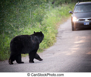 Bear looking at Car While Crossing Road - Big black bear...