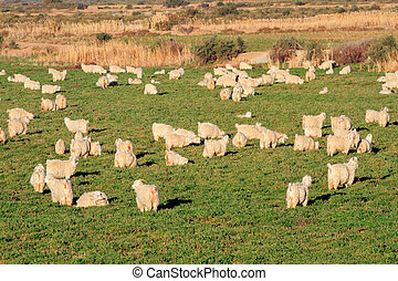 Angora goats - Herd of Angora goats on lush green pasture