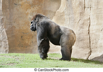 silverback - a huge gorilla male silverback commonly called