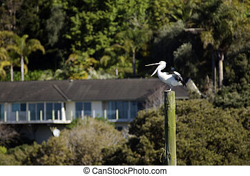 The first pelican spotted in NZ for more than 20 years -...