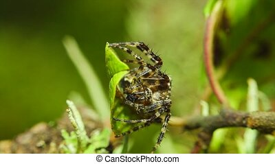 Spider and his victim, macro