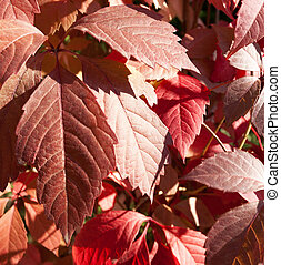 Parthenocissus quinquefolia - Virginia creeper, five-leaved...