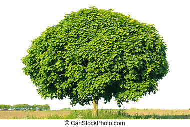 Norway maple(Acer platanoides) isolated on a white...