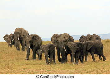 African Elephant Family Loxodonta Africana Approaching on...