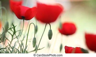 flower - popy field