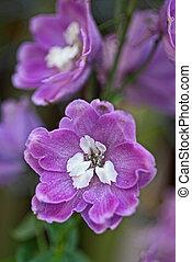 Blooming delphinium close up