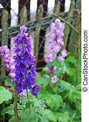 Blooming delphinium close up - Blooming delphinium in the...