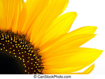 sun flower background - sun flower closeup on white
