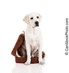 Dog with a suitcase - Beautiful dog of breed Labrador...