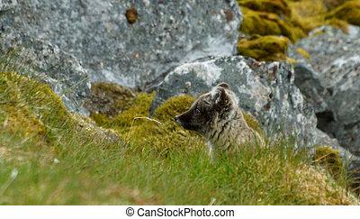 arctic fox looking for prey