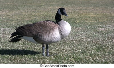 Canada Goose - a canada goose looking around
