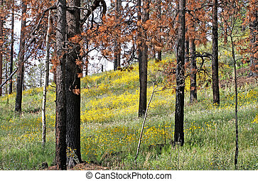 Summer after the Fire - Hillsides blooming after the Wallow...