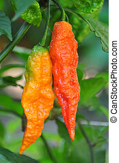 Hot Pepper Farm - Organic pepper farm near Asheville, North...
