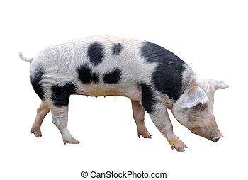 Bayeux pig in front of white background