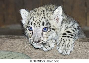 Snow leopard baby - Snow leopard (Uncia uncia) cub