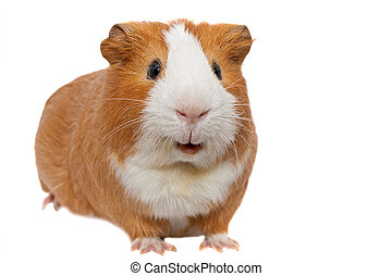 red guinea pig  - red guinea pig
