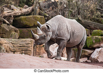 Animal life in Africa: Black rhinoceros