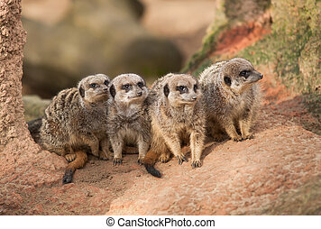 Group of watchful meerkats on the termitary