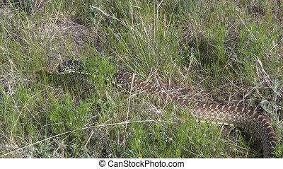 Bull Snake - a bull snake slithers through the grass