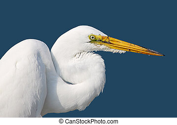 American great egret against a blue background - Head, neck...