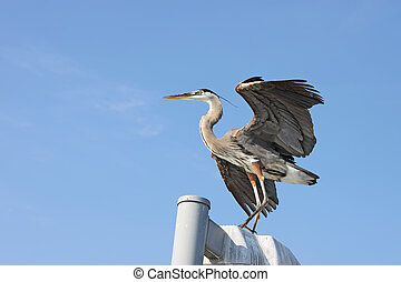 Great blue heron with wings spread near Sarasota, Florida -...