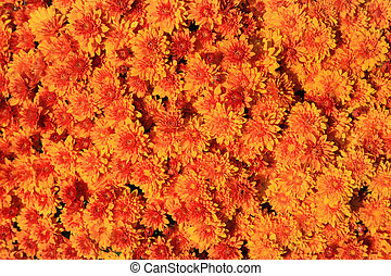 Chrysanthemum background - Background of Chrysanthemum red...