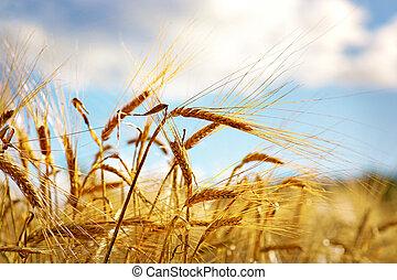 藍色, 天空, 小麥