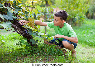 Cute boy picking grapes from vine