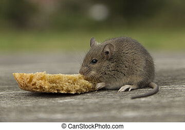 Small mouse with bread - The little mouse nibbles the bread...