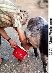 Senior woman milking goat, with red pot, at countryside
