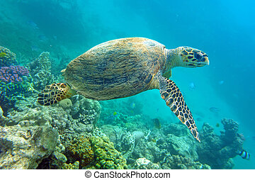 Sea turtle above coral in the natural environment