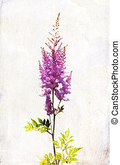 "Watercolor lilac ""Astilbe"" - Illustration of watercolor..."