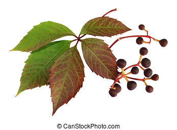 Parthenocissus close up - Leaves and berries are a...