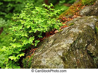 Bilberry - Fresh green blueberries growing on a rock covered...