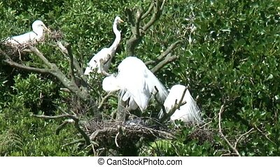 White Heron nesting - Whataroa, New Zealand Approximately 40...