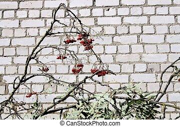 rowan berries - Rowan