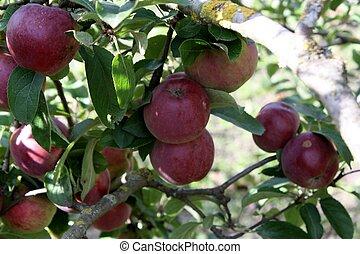 Apples on the tree in autumn - Apples in autumn