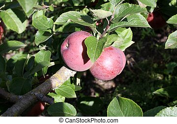 Two apples on the tree - Nice apple