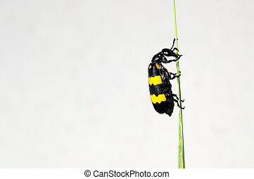 blister beetle - A blister beetle at the tip of grass