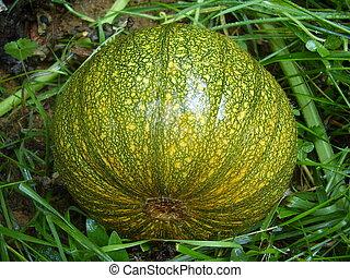 Autumn Gold Pumpkin