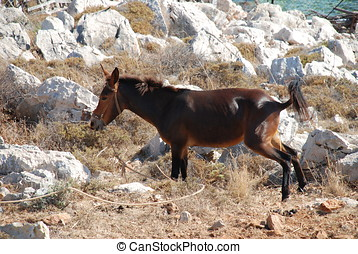 Brown mule, Halki island - A brown mule tethered in a rocky...