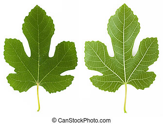 Fig leaf - Both sides of a fig tree leaf isolated on white...