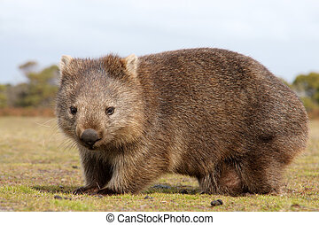 Wombat close-up - Close up of wombat in Narawntapu national...